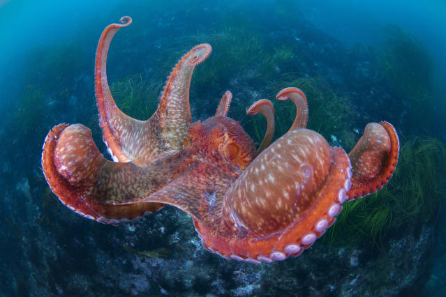<p>The giant pacific octopus spreads its interbrachial membranes wide when pouncing on its prey or landing on the sea floor, Hakodate Usujiri, Hokkaido, Japan, Dec. 1, 2015 . The soft way it lands resembles a parachute coming down. (Photograph by Toru Kasuya) </p>