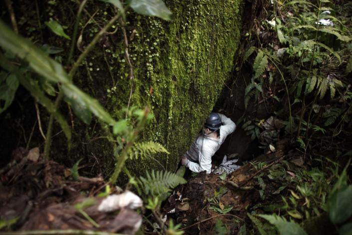 In this March 21, 2013 photo, Alberto Lopez, a researcher with Proyecto Coqui, slips into the mouth of a cave searching for Coqui frogs at a tropical forest in Patillas, Puerto Rico. A familiar sound is vanishing from the Caribbean night. The bird-like peeps and chirping of frogs are fainter across the region, a decline scientists say appears to be caused by a combination of climate change, a fungus that has been killing amphibians around the world, and habitat loss. It's a global problem, but worrisome in the Caribbean because the island geography means many species exist nowhere else on earth and the loss of frogs, a principal nocturnal predator of mosquitoes, may have severe consequences for humans. (AP Photo/Ricardo Arduengo)