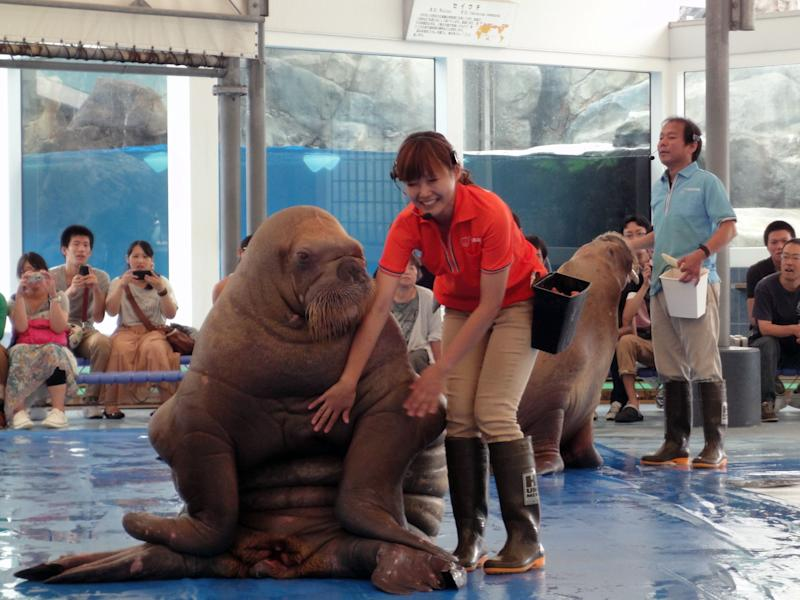 This Sept. 5, 2012 photo shows a worker at the Toba Aquarium in Toba, Japan, with a walrus during a show. After the show audience members are allowed to pet and have a picture taken with the animal. (AP Photo/Linda Lombardi)