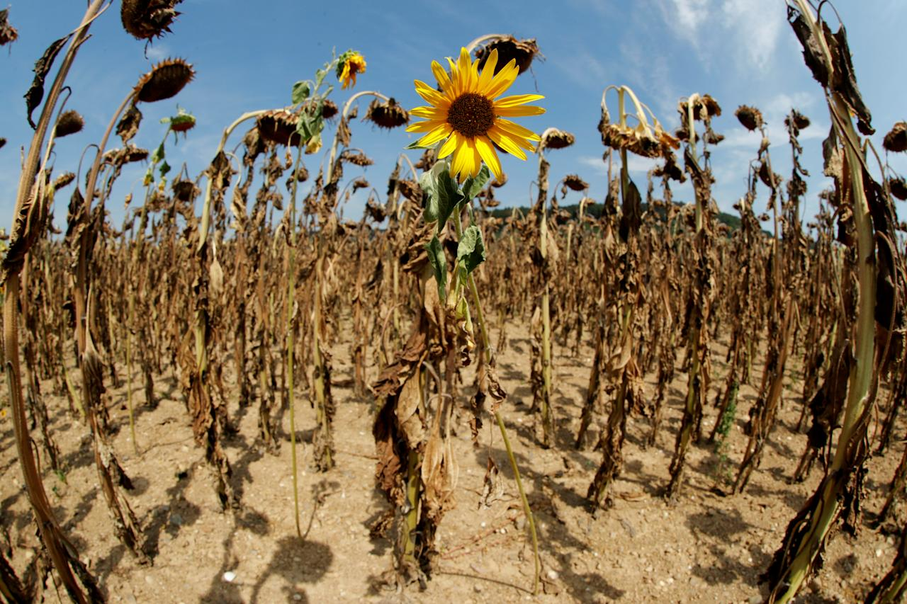 <p>A sunflower blooms in between dried-out ones during hot summer weather on a field near the village of Benken, Switzerland, Aug. 6, 2018. (Photo: Arnd Wiegmann/Reuters) </p>