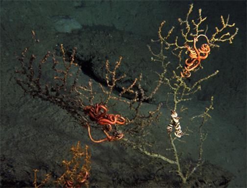 This undated photo provided by the Lophelia II 2010 research group, shows coral, several miles from the site of the blown-out BP well in the Gulf of Mexico, apparently covered with brown material. For the first time, federal scientists say they have found damage to deep sea coral and other marine life from the the Deepwater Horizon rig, but tests are needed to verify that the coral died from oil from released in the disaster.