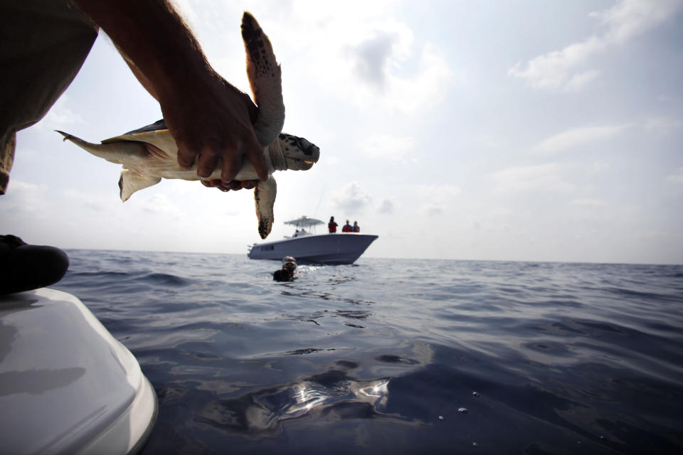 FILE - In this Thursday, Oct. 21, 2010 file photo, Dr. Bob MacLean, Audubon Institute senior veterinarian, releases a sea turtle that had previously been impacted by oil from the Deepwater Horizon oil spill, back into the Gulf of Mexico, 45 miles off the coast of Louisiana. Ten years after the nation's biggest offshore oil spill fouled its waters, the Gulf of Mexico sparkles in the sunlight and its fish are safe to eat. But scientists who have spent $500 million dollars from BP researching the impact of the Deepwater Horizon disaster have found much to be concerned about. (AP Photo/Gerald Herbert, File)