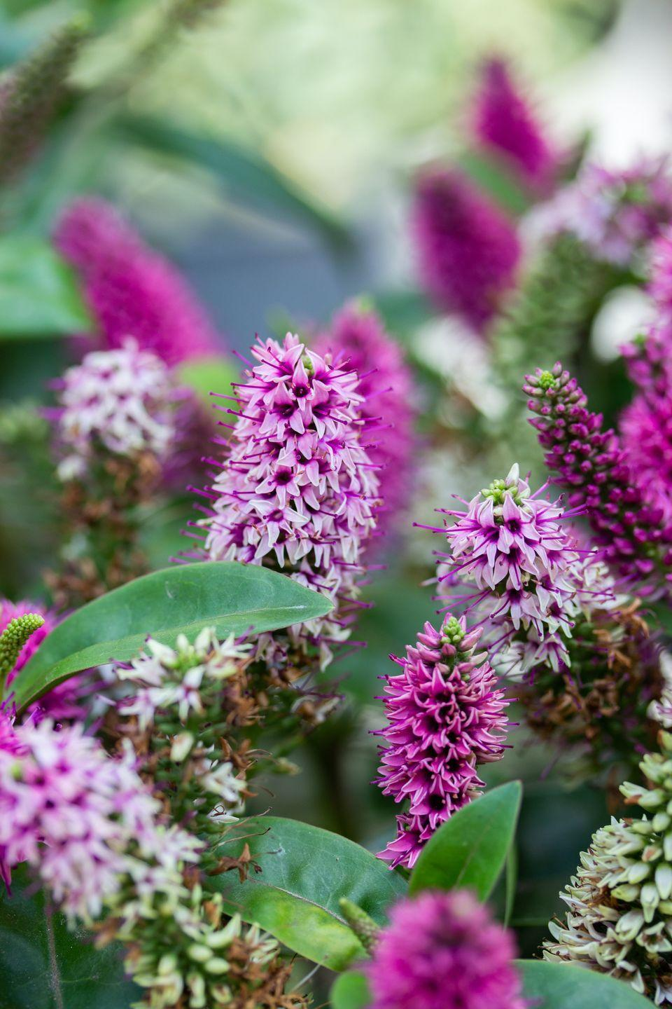 """<p>'It's hard not to be cheered up by bright colours, so inject a splash of colour into your garden this autumn by choosing bold, bright plants,' say Squire's Garden Centre. </p><p><a class=""""link rapid-noclick-resp"""" href=""""https://www.thompson-morgan.com/p/hebe-autumn-glory/WKB5054TM"""" rel=""""nofollow noopener"""" target=""""_blank"""" data-ylk=""""slk:BUY NOW VIA THOMPSON & MORGAN"""">BUY NOW VIA THOMPSON & MORGAN</a></p>"""