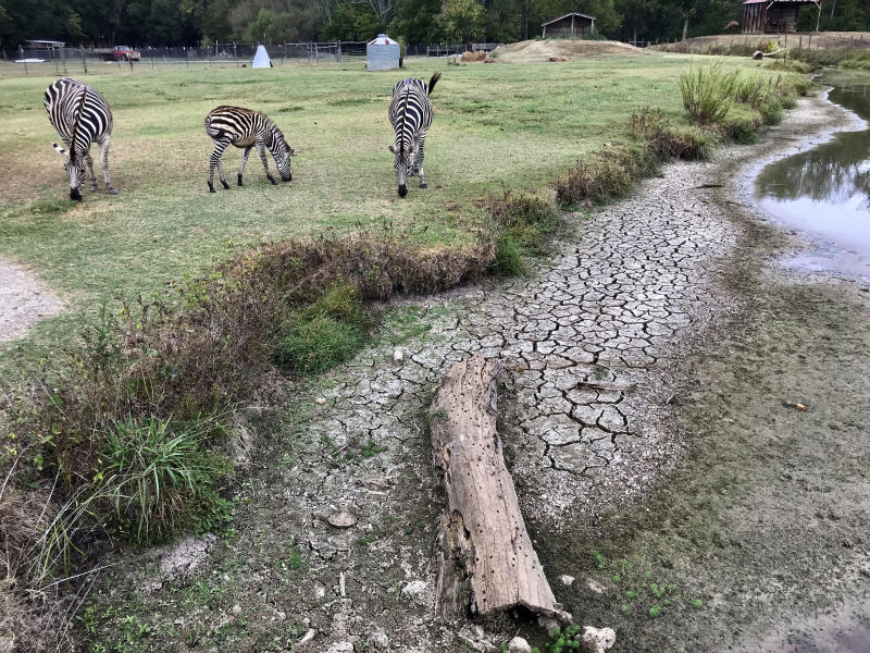 In this Monday, Oct. 7, 2019 photo, cracked earth is left behind after an ongoing drought dried up a stream at Pettit Creek Farms in Bartow County, Ga. Owner Scott Allen says that natural water sources like this one used to provide water for the zebras and other animals in the farm. Allen is now relying on city water from Cartersville, Ga, to care for the animals. (AP Photo/Jeff Martin)