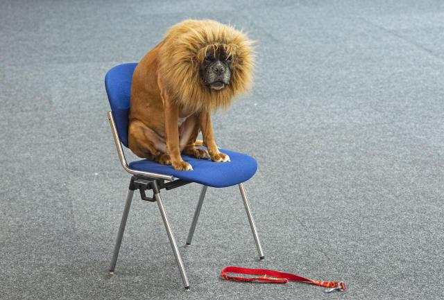 <p>A boxer dog dressed a a lion waits before a performance during an international dog and cat exhibition in Erfurt, Germany, June 16, 2018. (Photo: Jens Meyer/AP) </p>