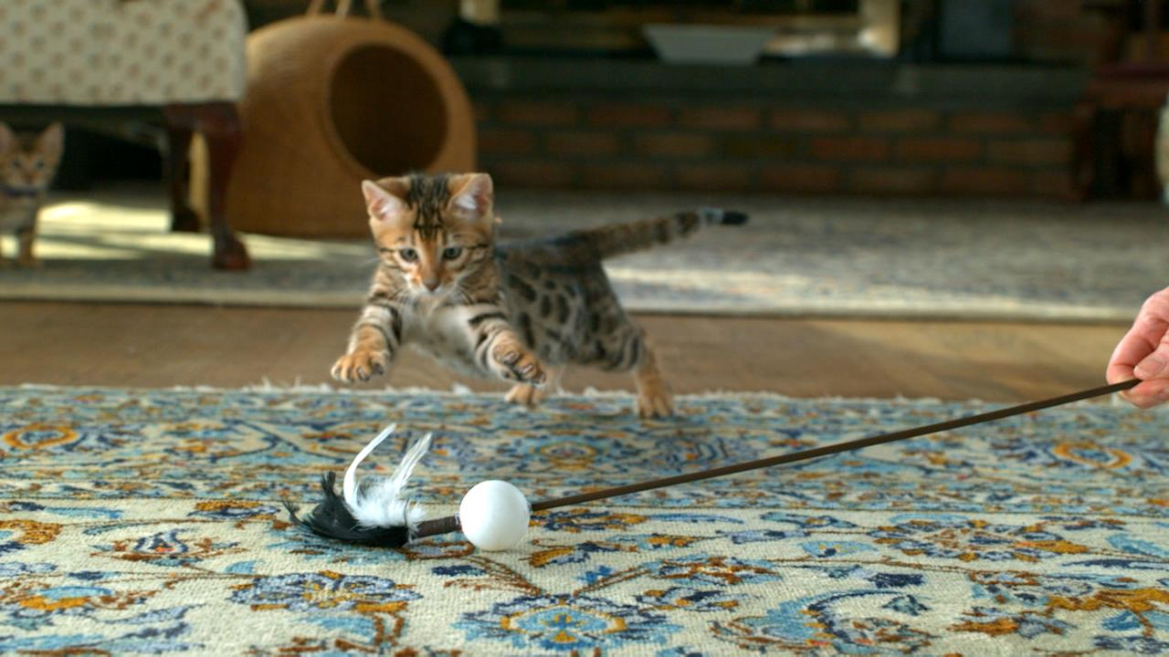 "Bengal kitten playing on Animal Planet's ""Too Cute! Kittens."""