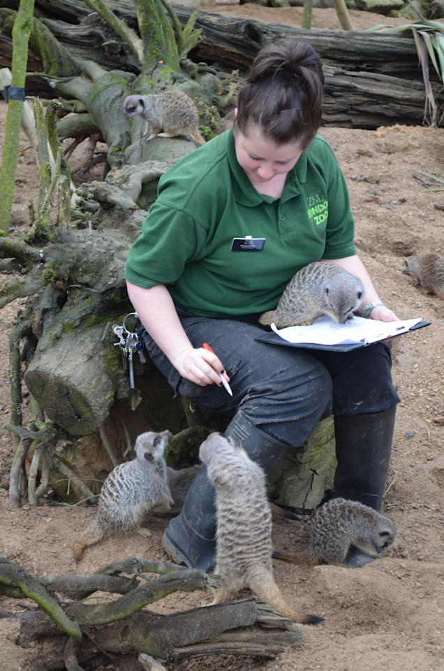 A meerkat perched on the keeper's clipboard helps with the count. The annual stocktake at the London Zoo, which started today, takes a week to complete (London Zoo)
