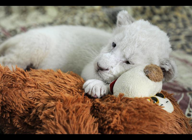 In this photo made Tuesday, July 17, 2012, a white lion cub is during feeding time in the Yalta Zoo in Yalta, the Crimean Peninsula, Ukraine. Five white lion cubs were born in the Crimea two weeks ago, three of them in a safari park and two in the Yalta Zoo. They are brought up together at the Yalta Zoo. Cubs have no names but they will be named in a few months when they grow up. (AP Photo/Andrew Lubimov)