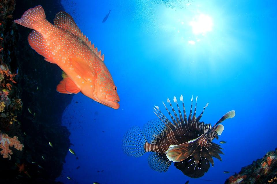 A grouper and a lionfish.
