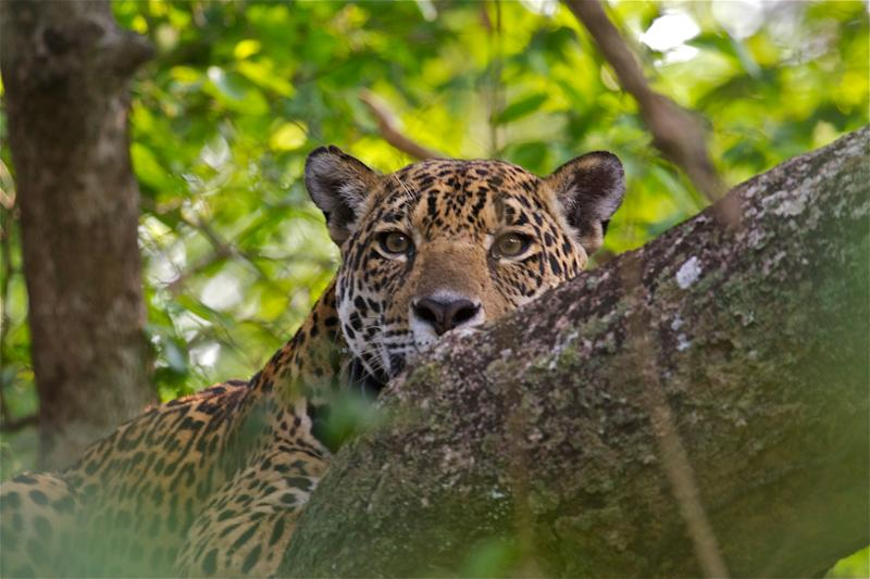 A Formula 3 racing driver is helping protect Brazil's jaguars