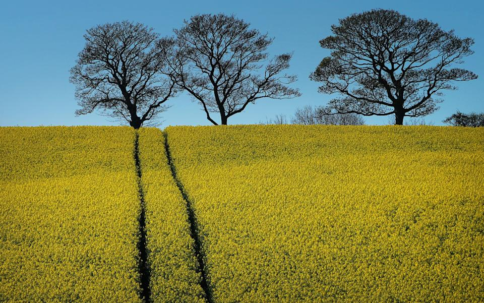 A field of oil seed rape in Durham (Picture: PA)