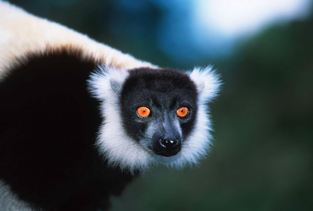 A black & white ruffed lemur. © Martin Harvey / WWF-Canon