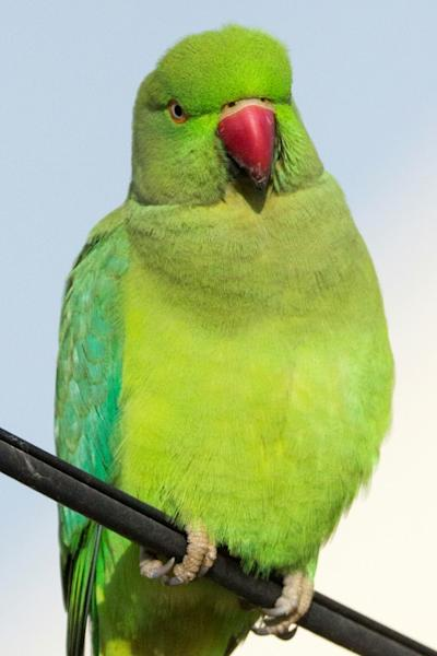 In Amsterdam, home to one of the largest colonies of parakeets, the town hall has banned residents from putting out food in some areas or risk a fine of 70 euros