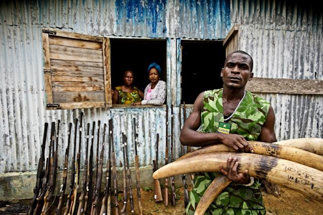 COMMERCIAL PHOTO - In this photograph released by WWF-Canon via AP Images, ñ Mba Ndong Marius, an Eco Guard from Oyem, holds seized ivory tusks and stands in front of confiscated weapons following an anti-poaching patrol in northern Gabon on Wednesday, June 27, 2012. Gabon's President Ali Bongo Ondimba last year created an elite military unit whose mission is to secure Gabon's parks and to protect wildlife, especially against poaching and illegal trade of ivory. Across Central Africa, thousands of elephants are killed each year for their tusks, which are in demand as carvings and ornaments in Asia. An estimated 5,000 to 12,000 elephants are killed each year for their ivory. Gabon's work to put an end to ivory related wildlife crime has the strong support and involvement of WWF. (WWF-Canon / James Morgan via AP Images)