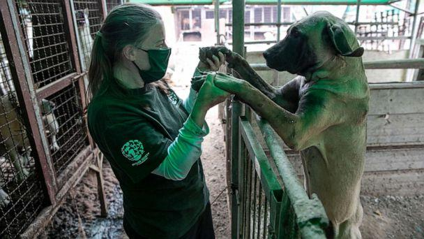 PHOTO: Abbie Hubbard, Program Manager of International Disaster Response at HSI, plays with Darryl at a dog meat farm in Haemi, South Korea, on Wednesday, October 21, 2020.  (Jean Chung/For HSI)