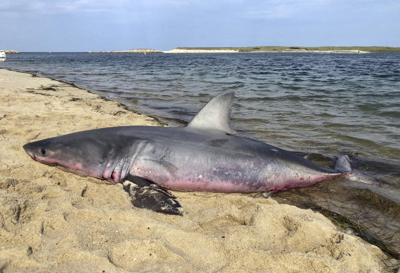 In this Aug. 23, 2018 photo, a dead great white shark lies on the shoreline in Truro, Mass. A prominent shark researcher says smaller, younger great white sharks are being spotted in greater numbers off Cape Cod. Massachusetts marine biologist Greg Skomal says the presence of juvenile sharks contributes to more human encounters because the young sharks swim closer to shore than their adult counterparts. (Ken Johnson/Atlantic White Shark Conservancy via AP)