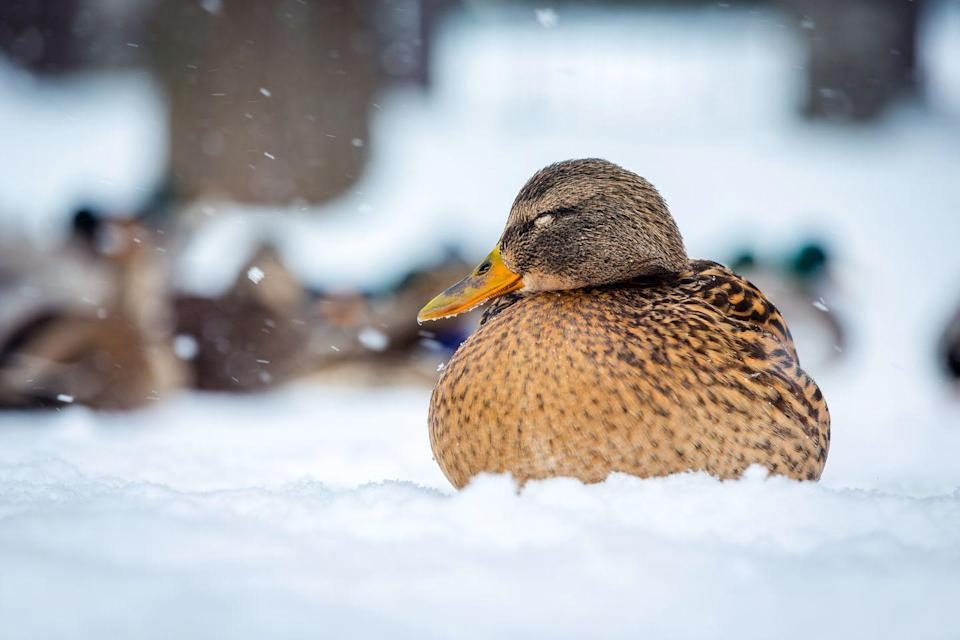 <p>Ducks have a nice, thick coat of feathers that keeps them pretty warm in the cold, but their webbed feet can actually get frostbite. Let's hope this one is staying super warm! </p>
