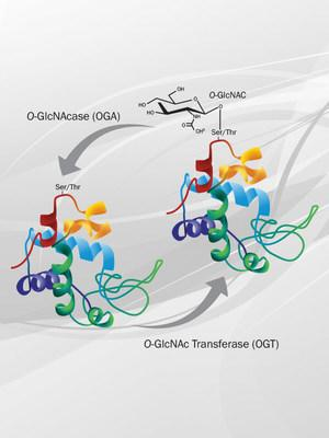 Adding O-GlcNAc sugars to serine/threonine residues of proteins can affect their function and availability. This post-translational modification has been implicated in a variety of diseases including cancer and neurodegenerative disease.