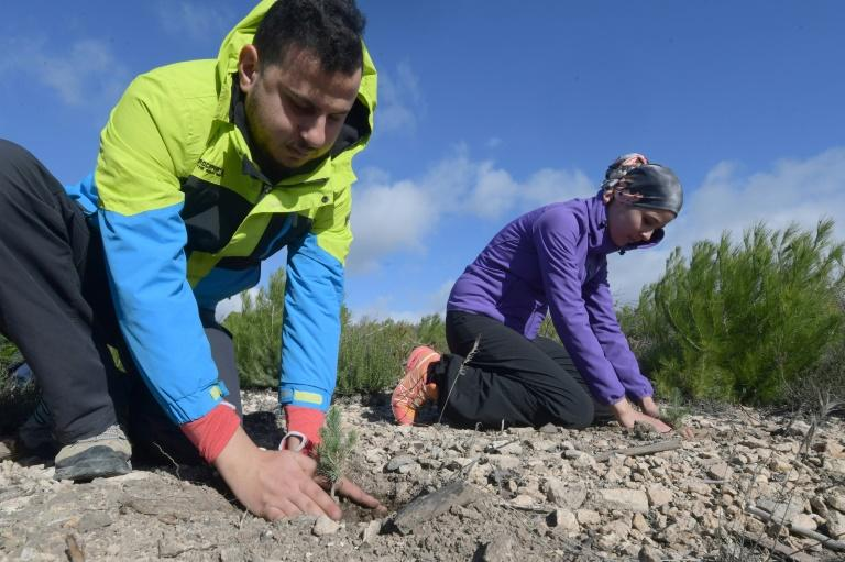 Volunteers aim to revive a burned forest by planting Aleppo pine shoots (AFP Photo/FETHI BELAID)