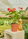 """For another potted statement, we like the Olivia, which has bold red """"flowers"""" and is relatively low-maintenance. Rooted ships anywhere in the contiguous US. $22, Olivia. <a href=""""https://rooted.nyc/collections/plants/products/red-flamingo-anthurium"""" rel=""""nofollow noopener"""" target=""""_blank"""" data-ylk=""""slk:Get it now!"""" class=""""link rapid-noclick-resp"""">Get it now!</a>"""