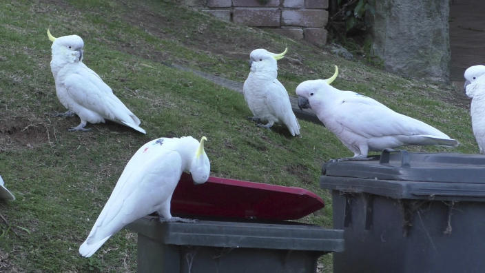 In this 2019 photo provided by researcher Barbara Klump, a sulphur-crested cockatoo lifts the lid of a trash can while several others watch in Sydney, Australia. At the beginning of 2018, researchers received reports from a survey of residents that birds in three Sydney suburbs had mastered the novel foraging technique. By the end of 2019, birds were lifting bins in 44 suburbs. (Barbara Klump/Max Planck Institute of Animal Behavior)