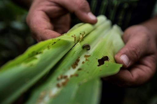 Crop-killing armyworm caterpillar reaches Rwanda, Kenya
