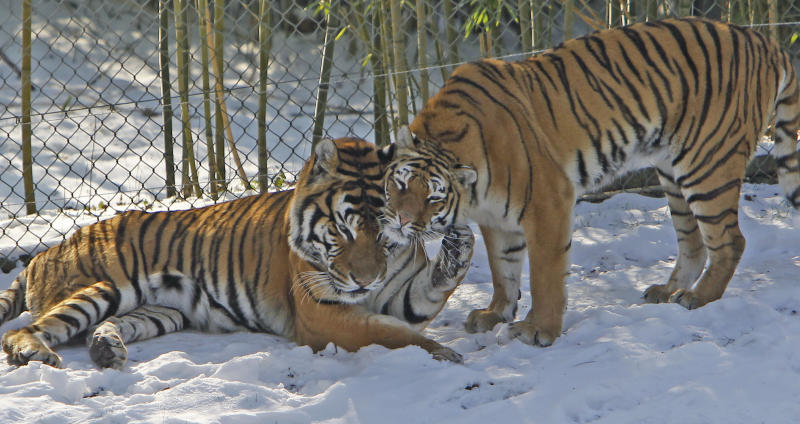 Two tigers play in the snow at the Zoological Park of Thoiry, west of Paris, Friday Feb. 10, 2012. After an amazing period of mildness, Europe is currently experiencing a massive cold wave which includes France.(AP Photo/Remy de la Mauviniere)