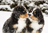 <p>Bernese mountain dogs get pretty large, but look at them as little puppies! They're adorable, pint-sized little fluff balls, and they're probably right at home in the snow. </p>