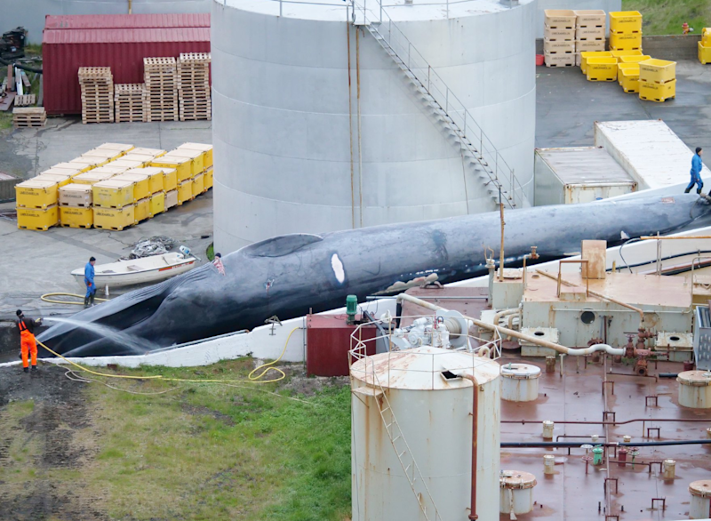 Images appear to show a captured blue whale being processed by whalers: Hard to Port