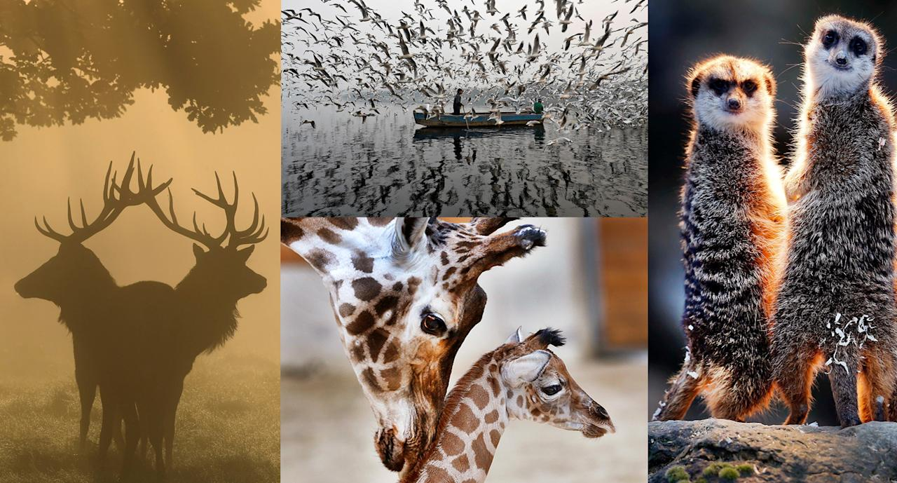 <p>The best animal photographs captured this past year were at times arresting, charming and inspiring. The silhouette of stag deer through the early morning mist of Richmond Park in London, a mother giraffe caring for her 3-day-old baby in Opel Zoo outside Frankfurt, Germany, and flocks of seagulls circling a man's boat on the Yamuna River in New Delhi were all captivating for their own reasons and rank among the best animal pictures of 2017. (AP/Reuters/Getty) </p>