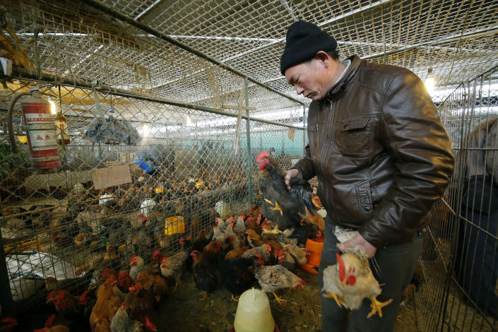 In this Tuesday, Jan. 21, 2014 photo, a vendor picks chickens at a wholesale poultry market in Shanghai. A spate of bird flu cases since the beginning of the year in China has experts watching closely as millions of people and poultry are on the move ahead of the Lunar New Year holiday, the world's largest annual human migration. (AP Photo)