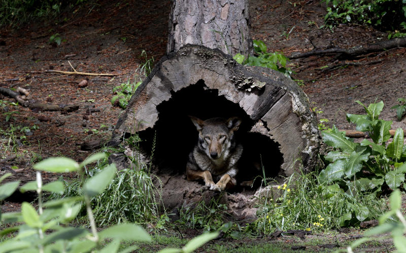 FILE - In this May 13, 2019 file photo, a female red wolf peers from within a tree trunk in its habitat at the Museum of Life and Science in Durham, N.C. Wildlife advocates have returned to court to prod the federal government to jump-start  recovery efforts for the critically endangered red wolf, while North Carolina Gov. Roy Cooper issued a sharply worded letter urging further action. Amid the pressure, federal biologists plan to transfer wolves from elsewhere into the recovery area for the first time in years to promote wild breeding.  (AP Photo/Gerry Broome, File)