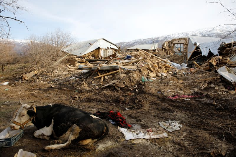 A cow sits next to damaged houses after an earthquake in Cevrimtas