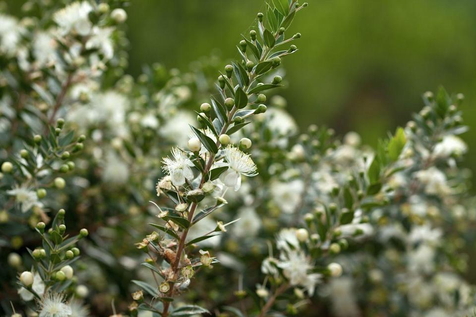 """<p>Fluffy white myrtle, distinguished by its little hairs, has a long-standing tradition of appearing in the bridal bouquets of the British royals. </p><p><strong>Bloom season: </strong>Spring and summer</p><p><a class=""""link rapid-noclick-resp"""" href=""""https://go.redirectingat.com?id=74968X1596630&url=https%3A%2F%2Fwww.homedepot.com%2Fp%2FNatchez-Crape-Myrtle-CRMNAT01G%2F300121552&sref=https%3A%2F%2Fwww.redbookmag.com%2Fhome%2Fg35661704%2Fbeautiful-flower-images%2F"""" rel=""""nofollow noopener"""" target=""""_blank"""" data-ylk=""""slk:SHOP MYRTLES"""">SHOP MYRTLES </a></p>"""