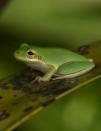 A squirrel tree frog (Hyla squirella), a wildlife host susceptible to Chytrid fungus, is seen in an undated photograph