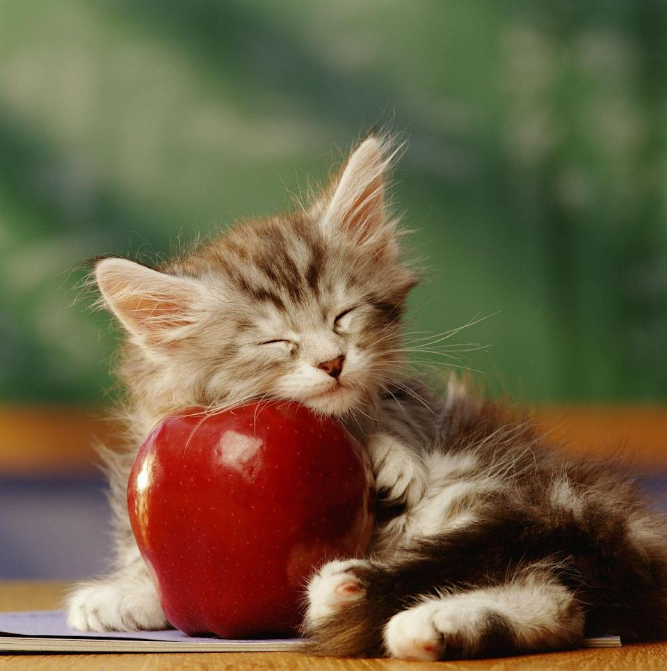 <p>This cat is absolutely a teacher's pet.</p>