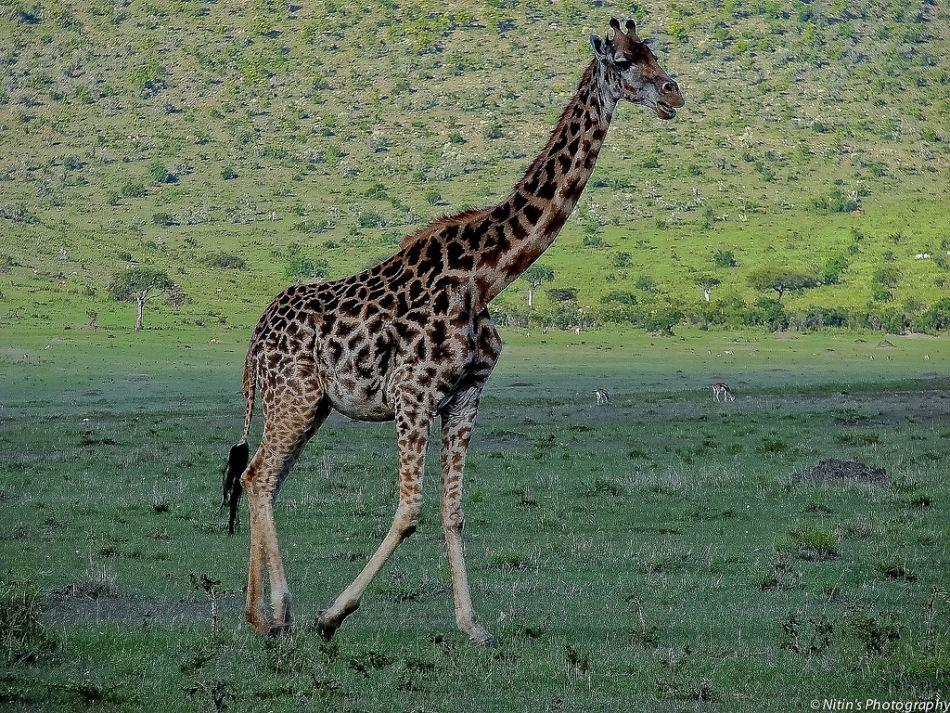 Tall, dark and handsome, a lone giraffe ambles at Maasai Mara, Kenya.
