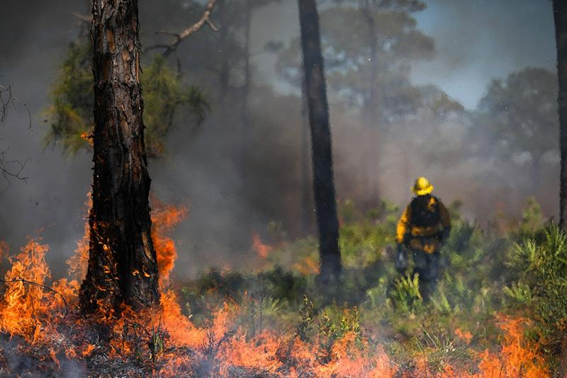 A wooded area burns during a prescribed fire.