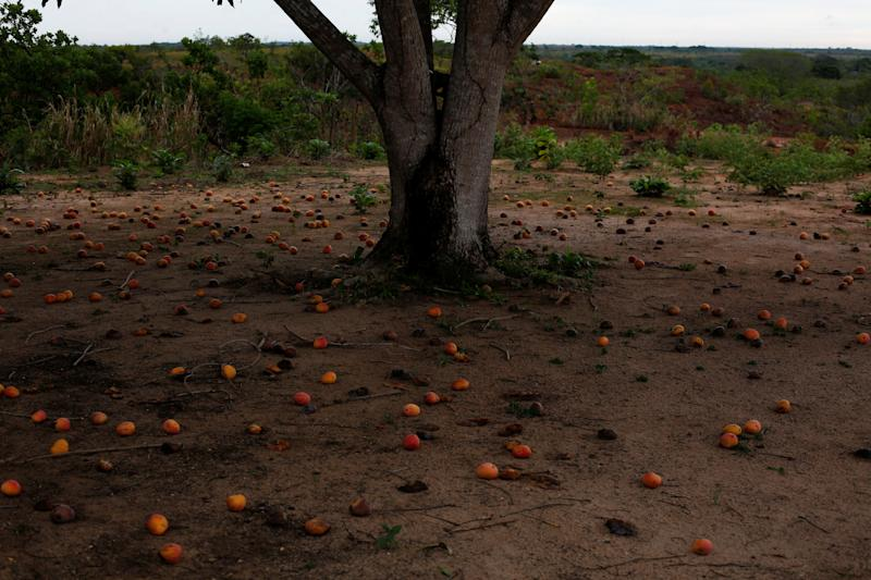 Mangoes on the ground on the outskirts of El Tigre, Venezuela, on June 2. (Photo: Ivan Alvarado/Reuters)