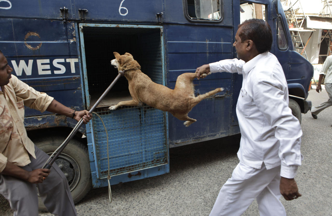 Employees of Municipal Corporation of Delhi (MCD) put a stray dog into their van after catching him for sterilization in a locality in New Delhi, India, Friday, Sept. 23, 2011. The municipal officials have started rounding up stray dogs for sterilizing them in order to stop their growing population. (AP Photo/Manish Swarup)