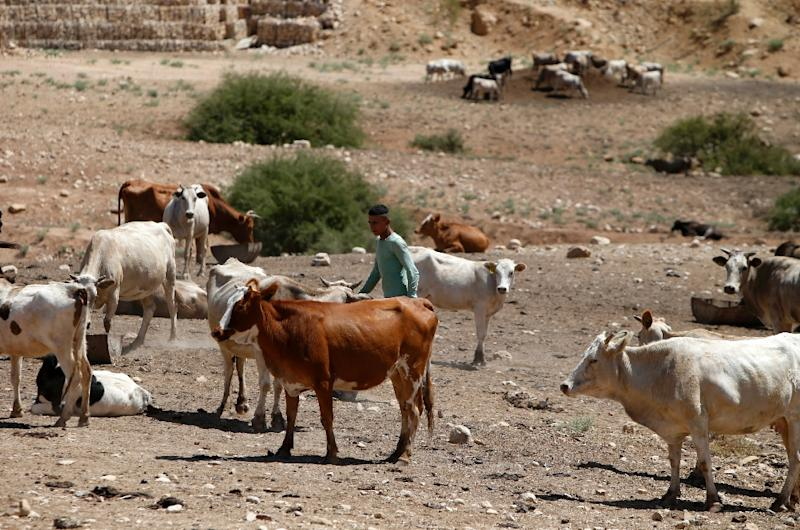 In the Tubas area, more than 800 people remain with their cattle on land Israel has designated as firing ranges (AFP Photo/Jaafar Ashtiyeh)