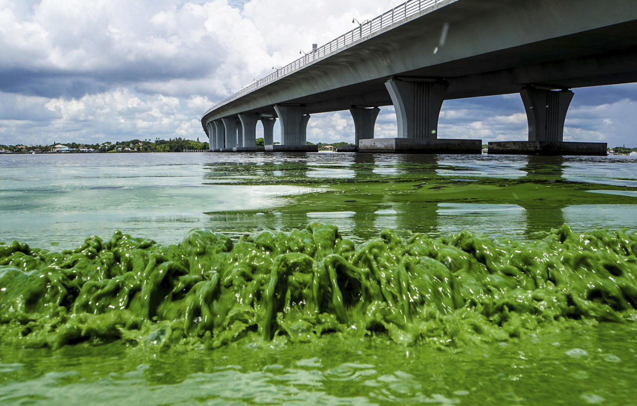 <p>Water full of algae laps the Sewall's Point shore on the St. Lucie River, Fla., June 27, 2016. Despite hundreds of millions of tax dollars spent to reduce pollution in Florida's 153-mile-long Indian River Lagoon, an Associated Press analysis of water quality data from 2000-2015 found stark increases in pollutants that cause harmful algal blooms. (Photo: Richard Graulich/The Palm Beach Post via AP) </p>