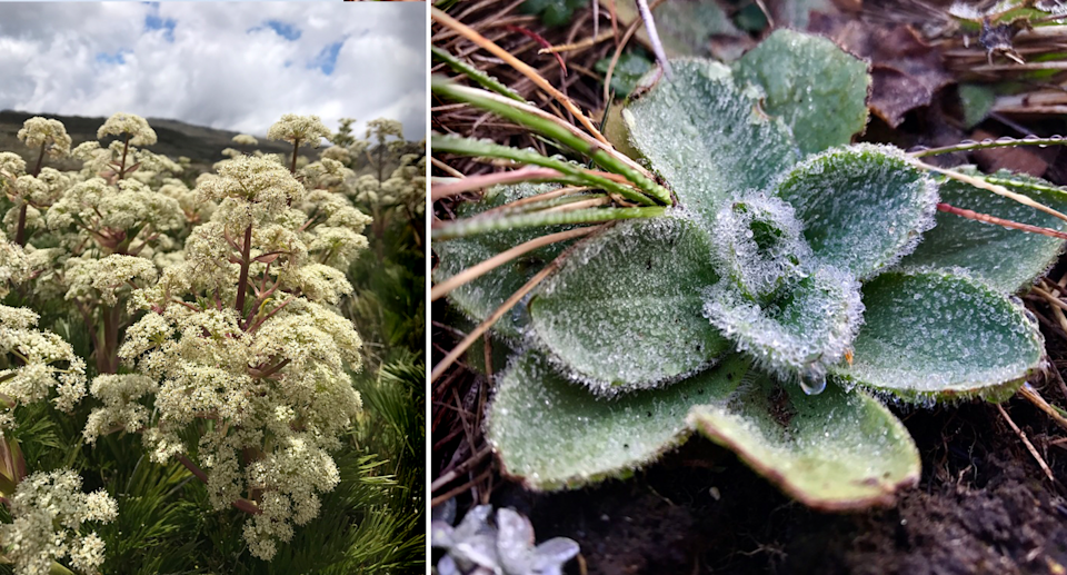 Samples from the last 125 years of plants including mountain celery (left) and billy buttons (right). Source: Casey Kirchhoff/iNaturalist, CC BY-NC