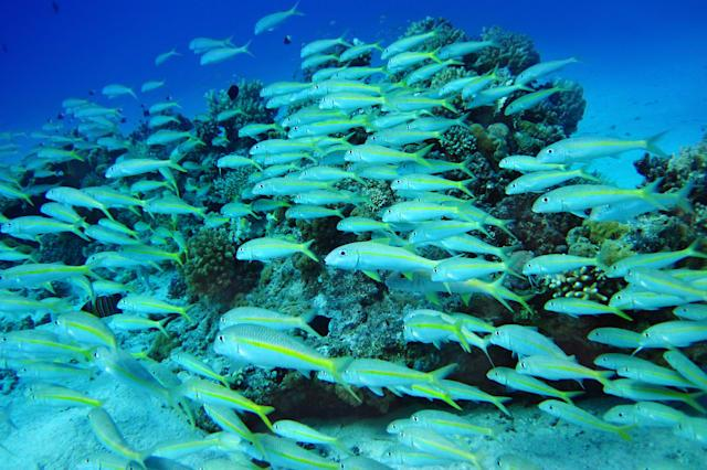 group of coral fish  in blue...