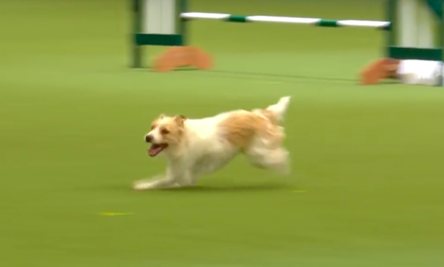 <em>The rescue dog is just as adorable away from Crufts as he was at it (Grab)</em>