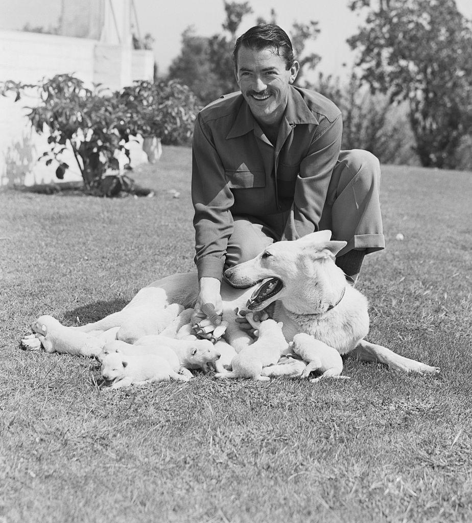<p>Actor Gregory Peck was on set filming <em>The Gunfighter </em>when he received word from home that his Alsatian Police dog, Slip, had gone into labor. Here, the actor beams with pride as he poses with Slip's litter of 13 newborn puppies. </p>