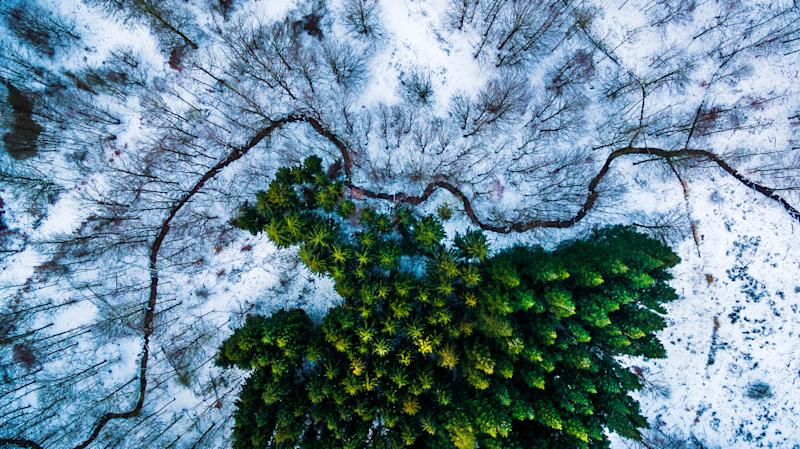 New satellite tools give scientists fresh insights into evergreens on Earth