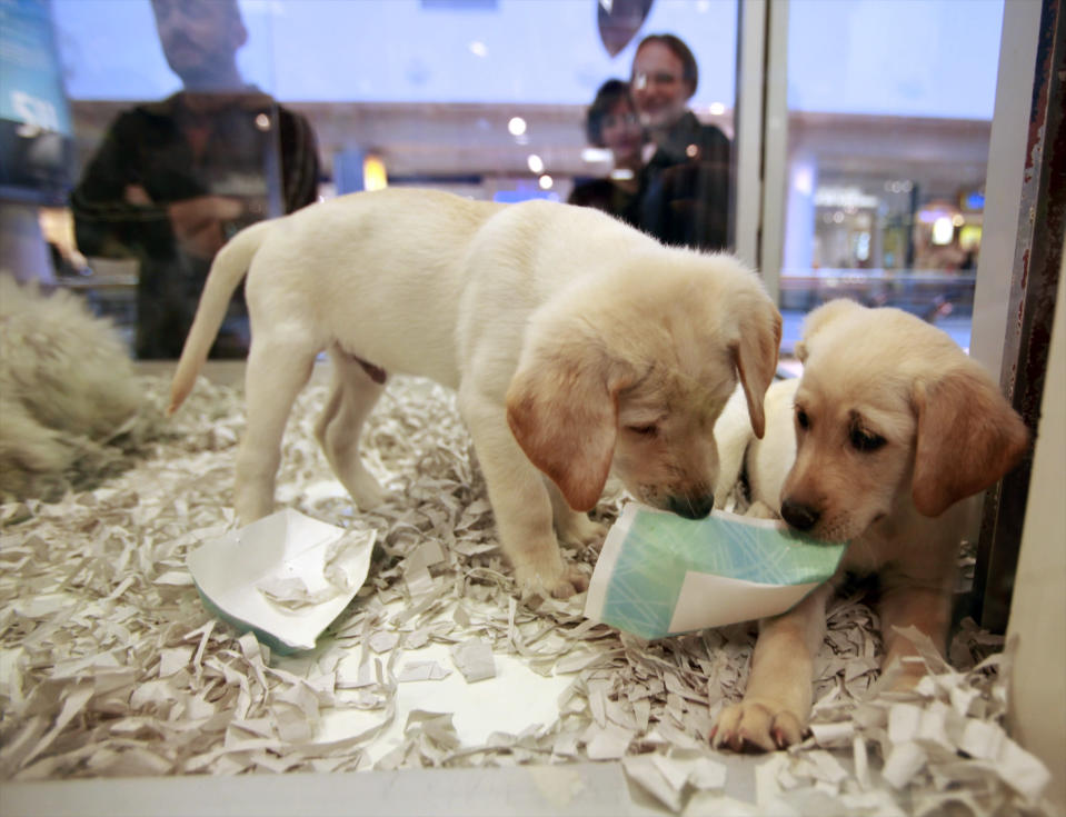 """FILE - In this Monday, Oct. 4, 2010 file photo, window shoppers look at a pair of Labrador puppies for sale at the Westside Pavilion Shopping Center in Los Angeles. The British government has decided to ban third-party sales of puppies and kittens to improve animal welfare. Animal Welfare Minister David Rutley said Sunday, Dec. 23, 2018 the ban """"is part of our commitment to make sure the nation's much-loved pets get the right start in life. (AP Photo/Damian Dovarganes, file)"""