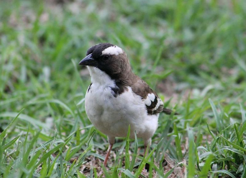 The white-browed sparrow-weaver is one such species that can thrive in a variety of habitats (PA)
