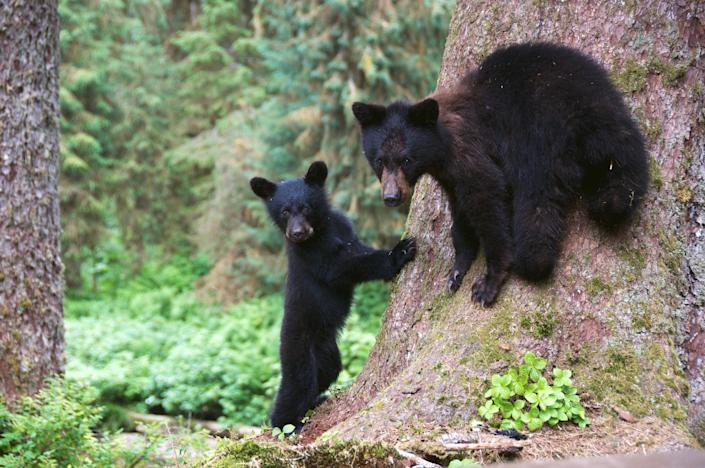 Two Alaska black bear cubs. The Trump administration has rolled back 2015 rules aimed at protecting them: Getty Images/iStockphoto